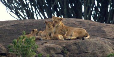 Camp Zebra, Löwenfamilie