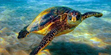 Pemba Island, Meeresschildkröte