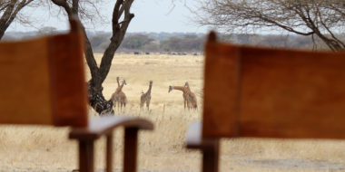 Manyara Ranch Camp, Giraffen