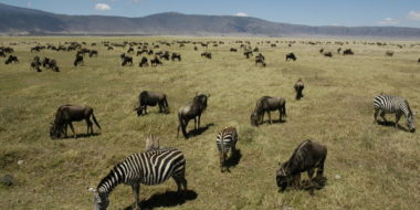 Ngorongoro Serena Safari Lodge, Zebras und Gnus