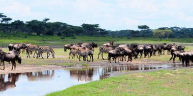 Serengeti Savannah Camps, Büffel- und Zebraherden