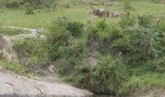 Serengeti Migration Camp, Flusspferde