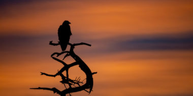Adler im Sonnenaufgang
